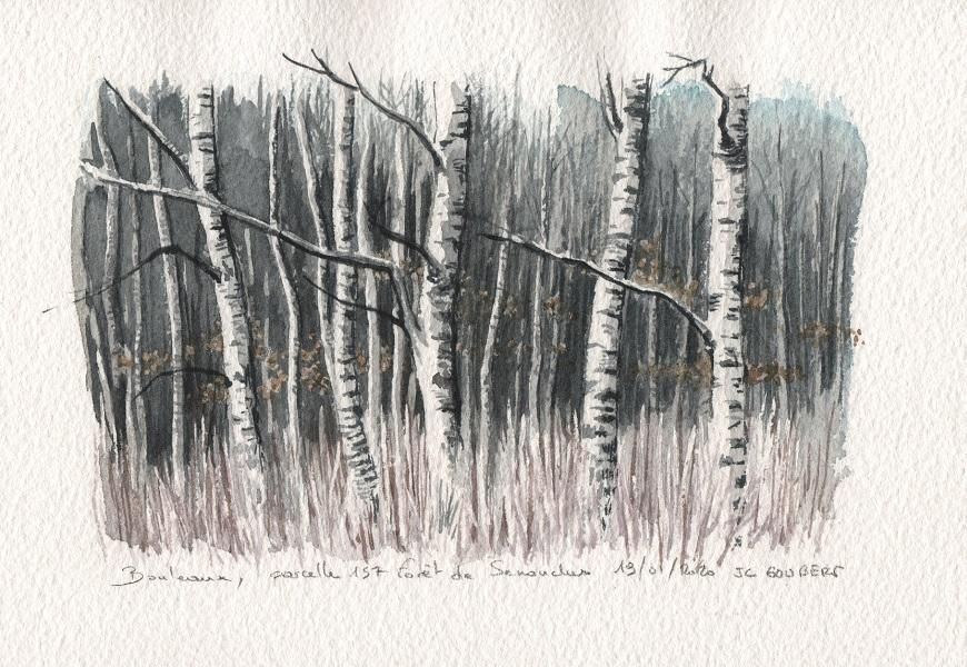Bouleaux, forêt de Senonches