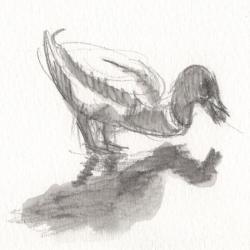 Canard colvert ayant trouvé un bout de pain sur la glace