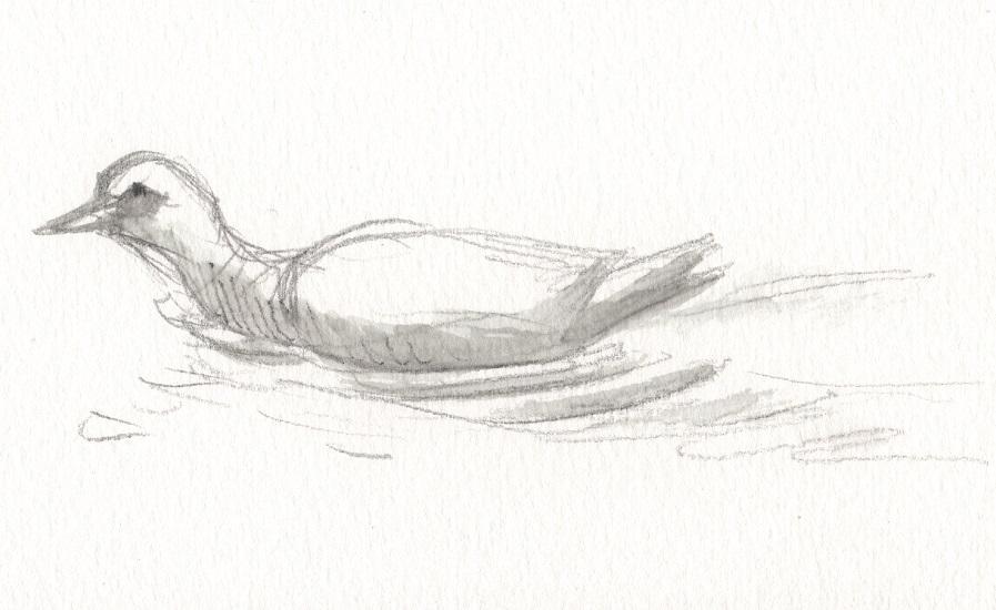 Le canard de Barbarie préfère l'eau non gelée