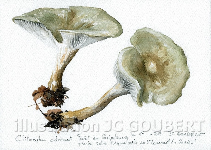 Clitocybe anise gamma