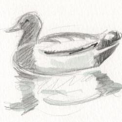 Canard colvert sur l'eau