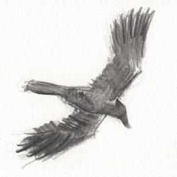 Corbeau freux en vol
