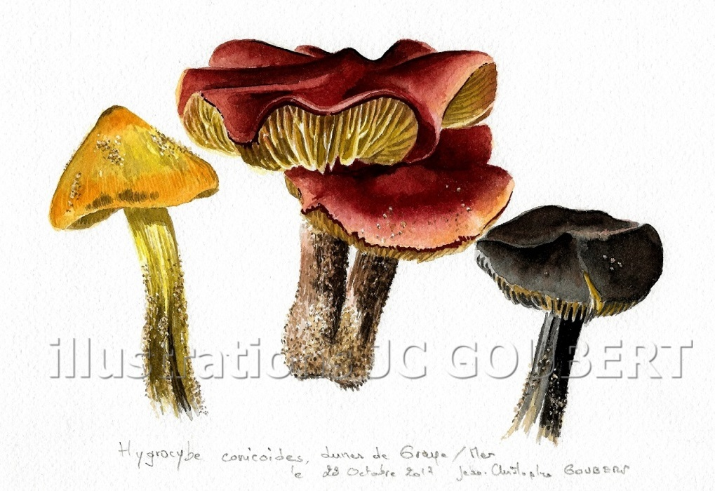 Hygrocybe conicoides