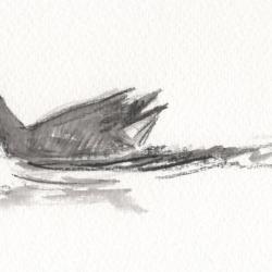 Poule d'eau