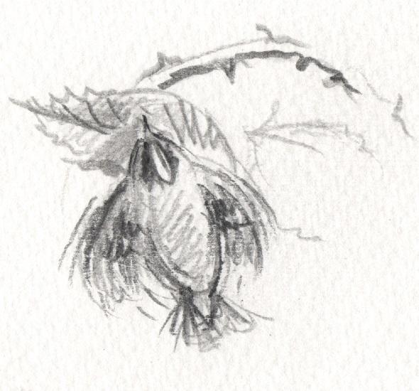 Roitelet picorant sous les feuilles de ronces