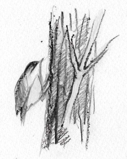 Roitelet sur un tronc de sureau