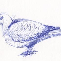 La tourterelle turque