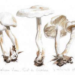 Tricholome blanc